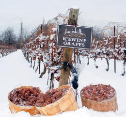 ice-wine-grapes