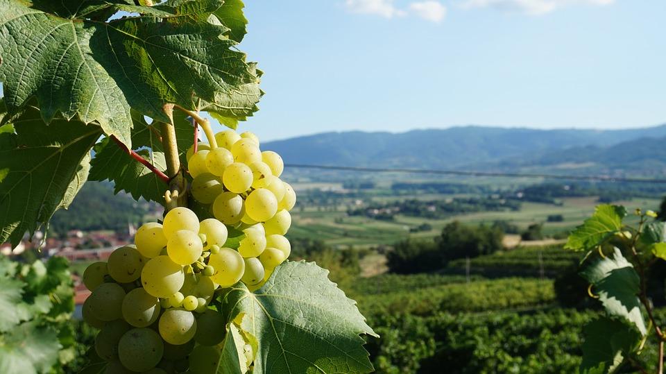 La Malvasia: vitignomediterraneo